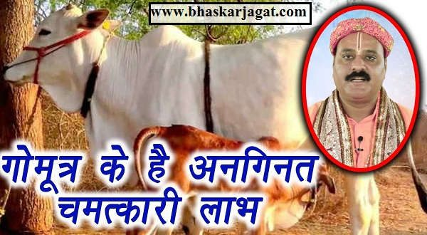 Know the infallible benefits of Gomutra